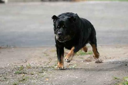 preydog